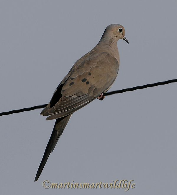 Mourning_Dove_6782x.jpg