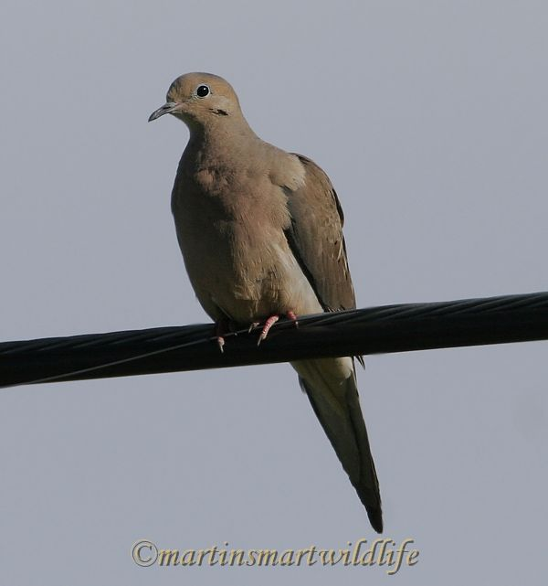 Mourning_Dove_6783x.jpg