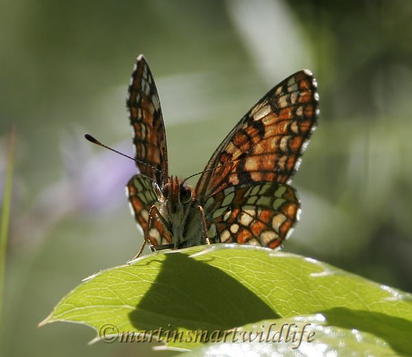 Northern_Checkerspot_6369x.jpg
