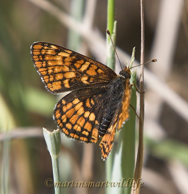 Northern_Checkerspot_7698x.jpg