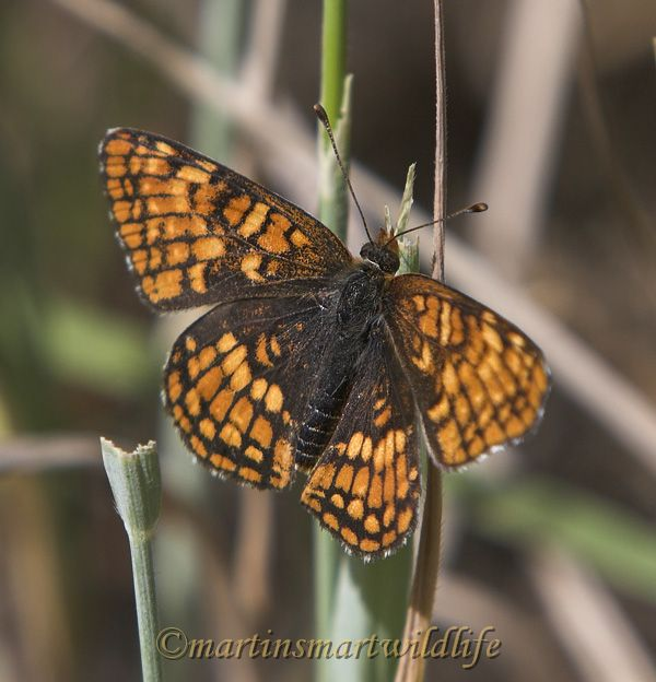Northern_Checkerspot_7699x.jpg