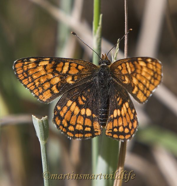 Northern_Checkerspot_7700x.jpg