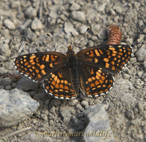 Northern_Checkerspot_7747x.jpg