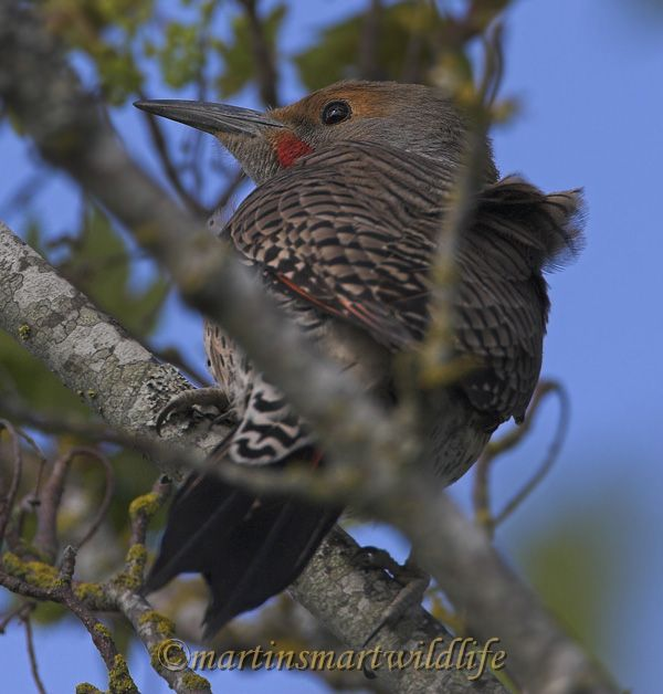 Northern_Flicker_5335x.jpg