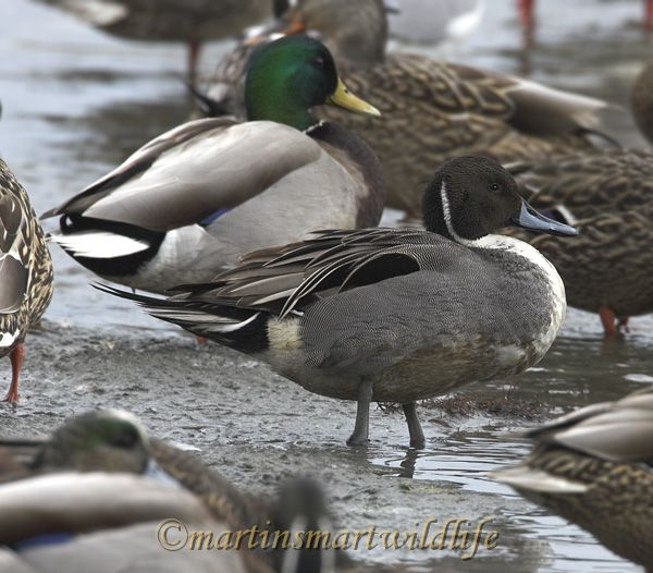 Northern_Pintail_2237ax.jpg