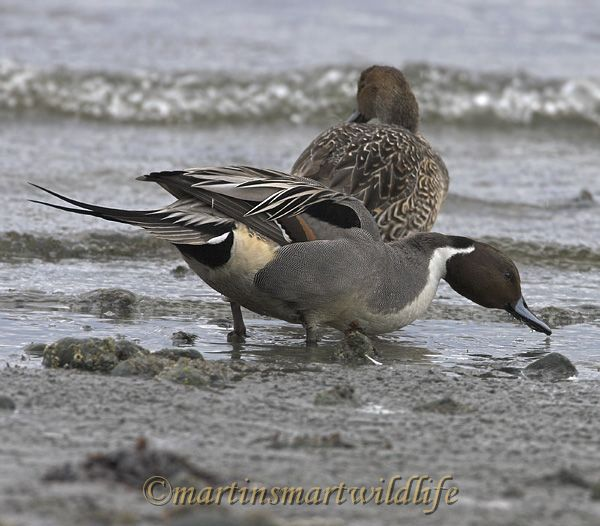 Northern_Pintail_2276x.jpg