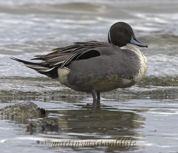 Northern_Pintail_2297x.jpg