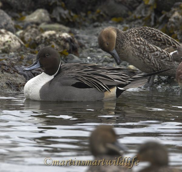 Northern_Pintail_2308x.jpg