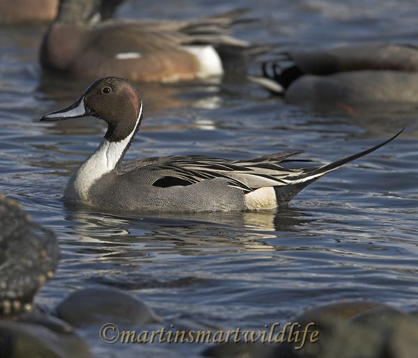 Northern_Pintail_2369x.jpg