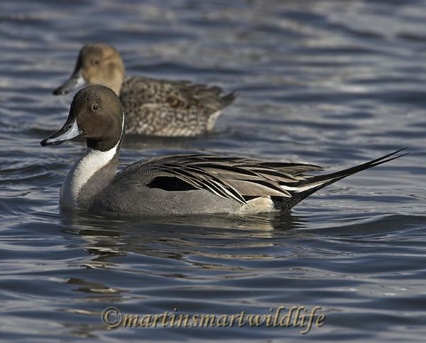 Northern_Pintail_2374x.jpg