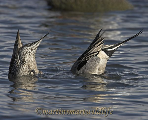 Northern_Pintail_2375x.jpg
