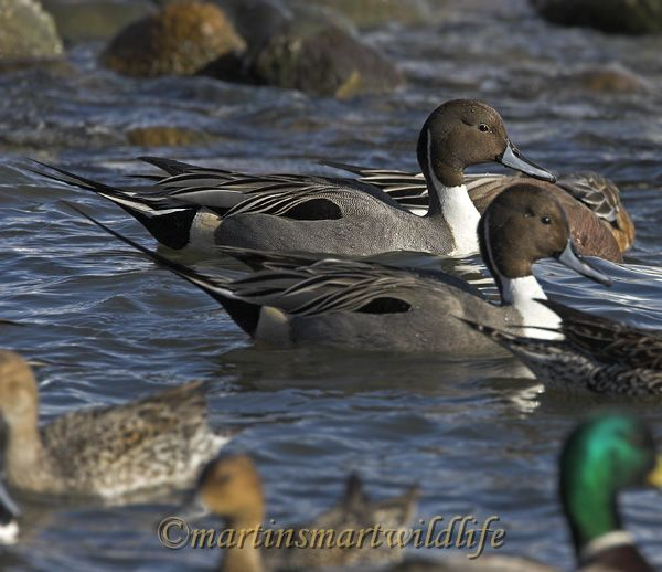 Northern_Pintail_2401x.jpg