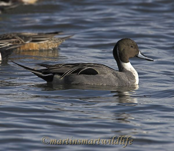 Northern_Pintail_2407x.jpg