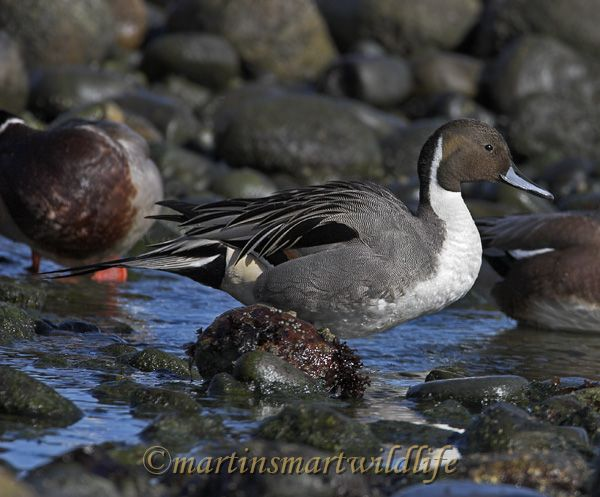 Northern_Pintail_2441x.jpg