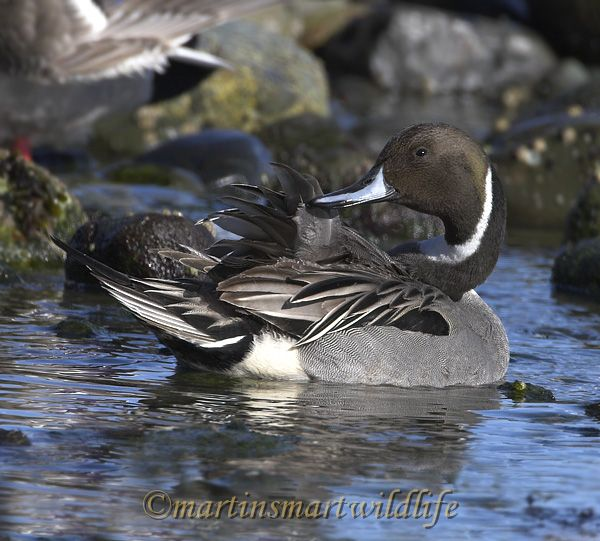 Northern_Pintail_2459ax.jpg