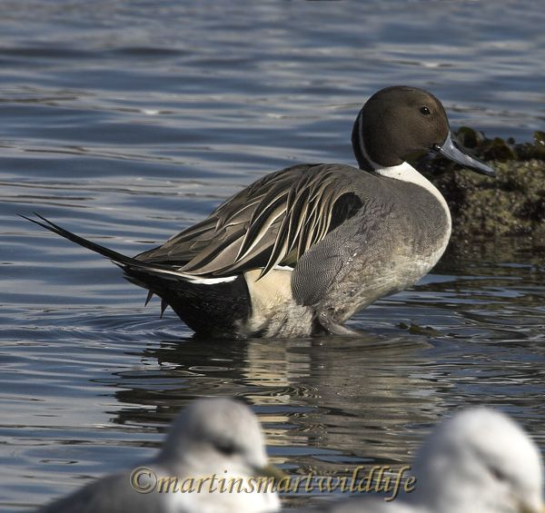 Northern_Pintail_2517ax.jpg