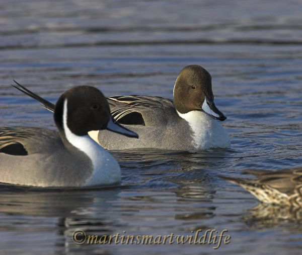 Northern_Pintail_2750x.jpg