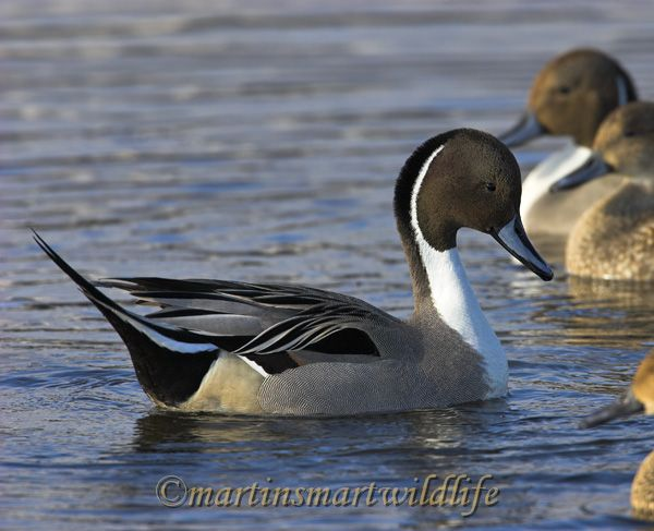 Northern_Pintail_2751x.jpg