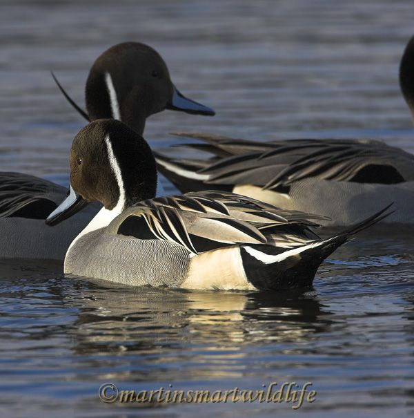Northern_Pintail_2757x.jpg