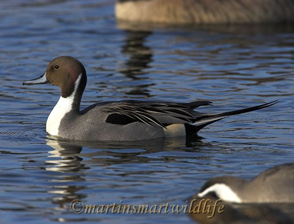 Northern_Pintail_2773x.jpg