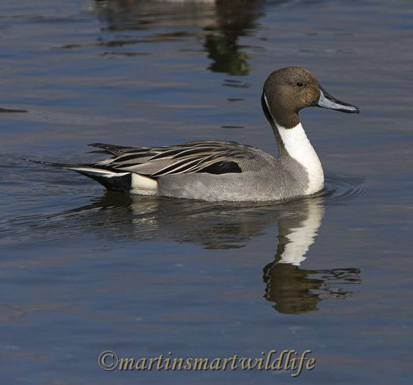 Northern_Pintail_3567x.jpg