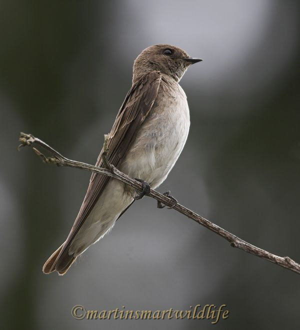 Northern_Rough-winged_Swallow_5931x.jpg