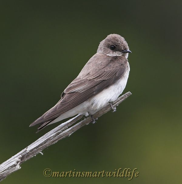 Northern_Rough-winged_Swallow_5973x.jpg