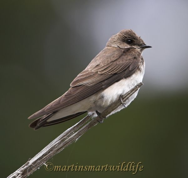 Northern_Rough-winged_Swallow_6015x.jpg