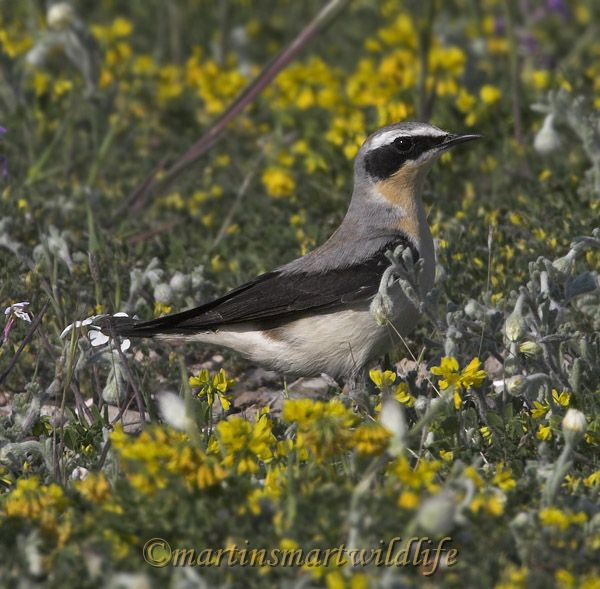 Northern_Wheatear_3865x.jpg