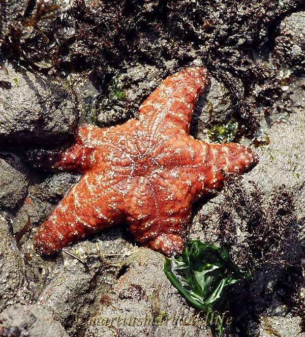 Ochre Sea Star(2).jpg
