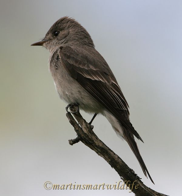 Olive-Sided_Flycatcher_6432ax.jpg