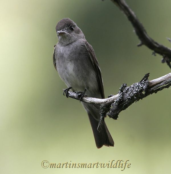 Olive-sided_Flycatcher_6413x.jpg