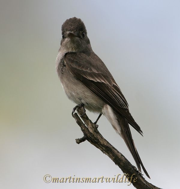 Olive-sided_Flycatcher_6427x.jpg