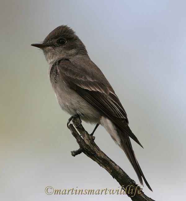 Olive-sided_Flycatcher_6429x.jpg