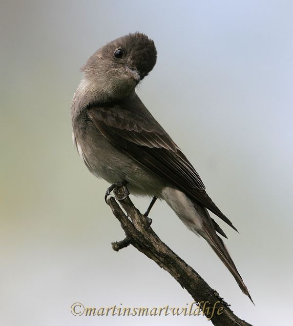 Olive-sided_Flycatcher_6430x.jpg