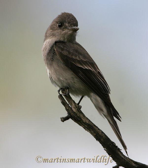 Olive-sided_Flycatcher_6433x.jpg