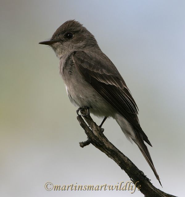 Olive-sided_Flycatcher_6434x.jpg