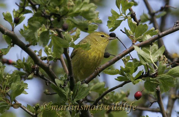 Orange-Crowned_Warbler_2561x.jpg