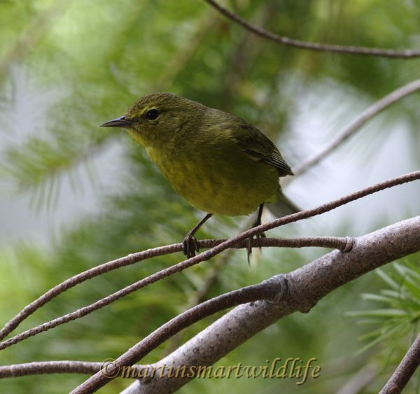 Orange-crowned_Warbler_7008x.jpg