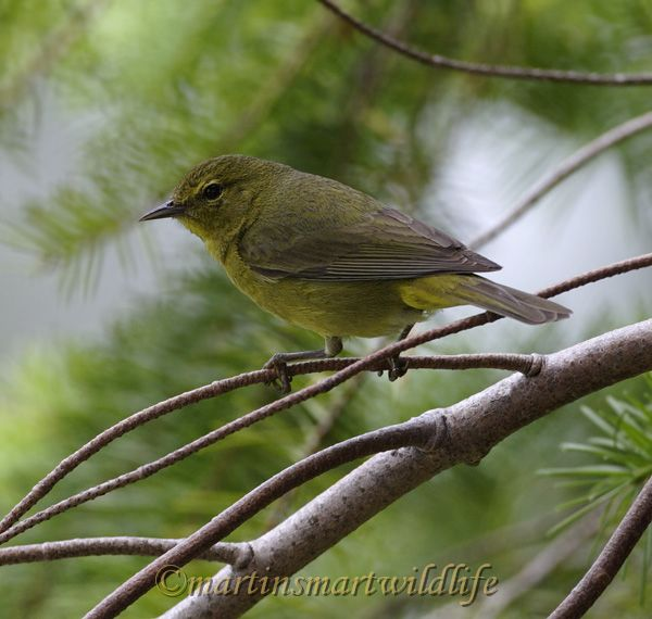 Orange-crowned_Warbler_7011x.jpg