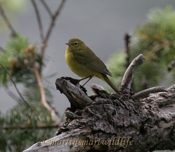 Orange_Crowned_Warbler_4429x.jpg
