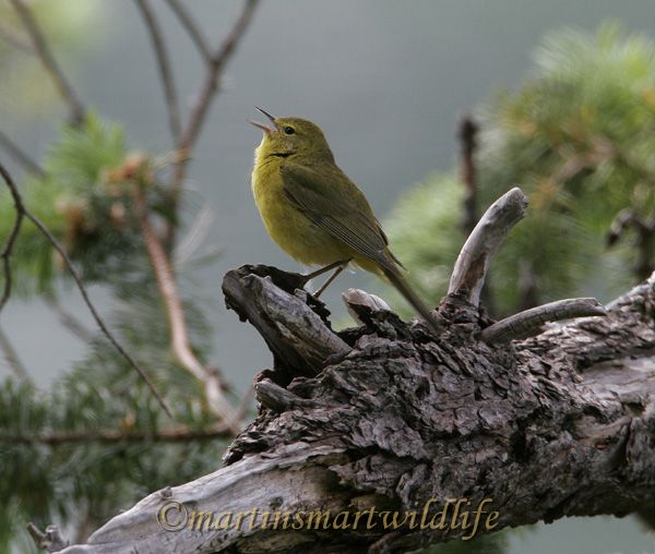 Orange_Crowned_Warbler_4437x.jpg