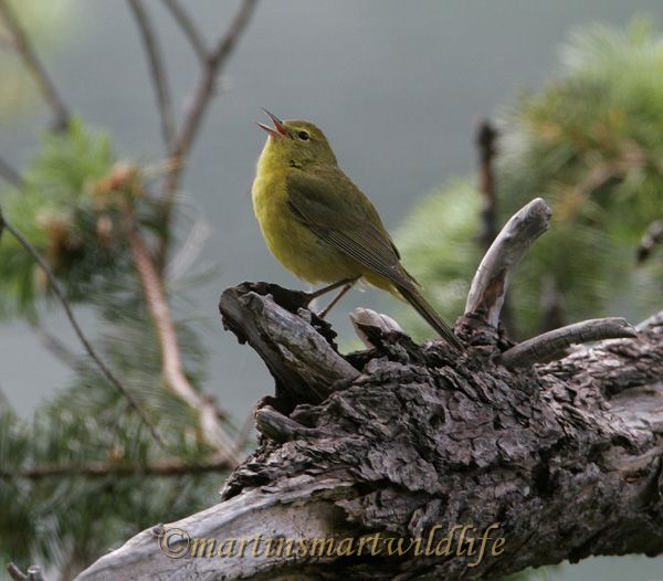Orange_Crowned_Warbler_4438x.jpg