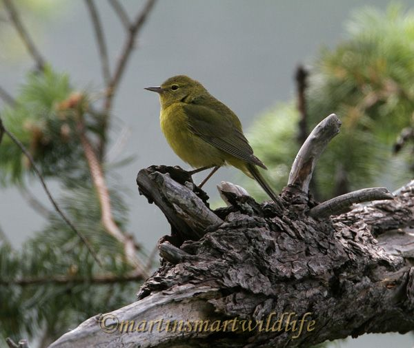 Orange_Crowned_Warbler_4443x.jpg