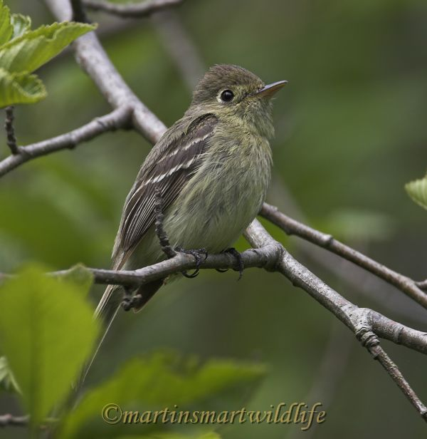 Pacific-slope_Flycatcher_5184x.jpg