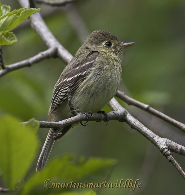 Pacific-slope_Flycatcher_5191x.jpg