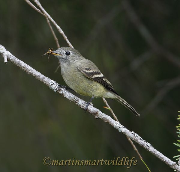 Pacific-slope_Flycatcher_9775.jpg