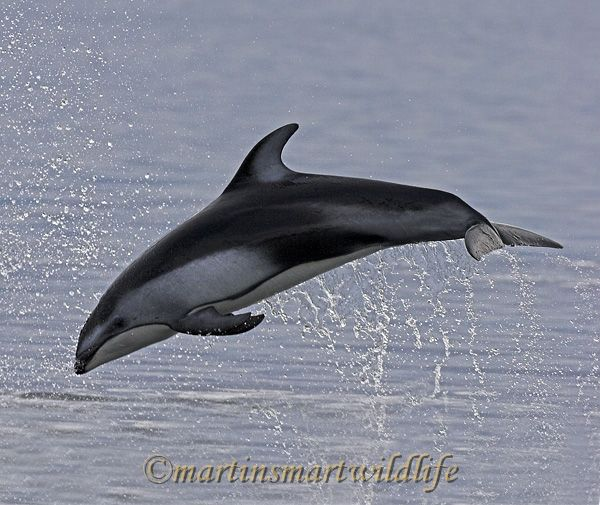 Pacific_White-sided_Dolphin_6372bx.jpg