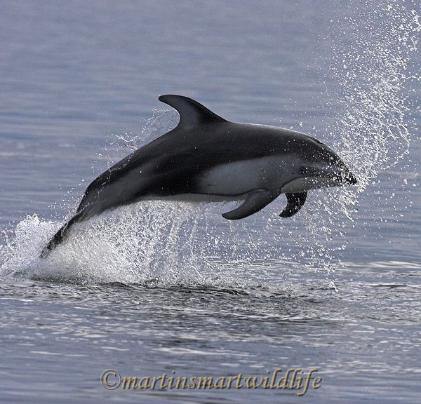 Pacific_White-sided_Dolphin_6374ax.jpg