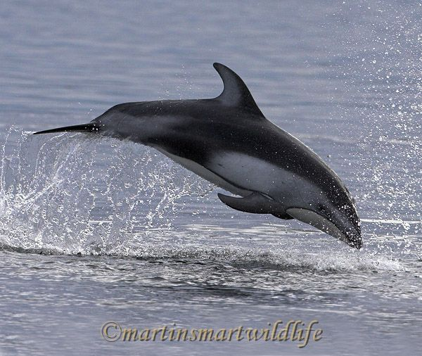 Pacific_White-sided_Dolphin_6375ax.jpg
